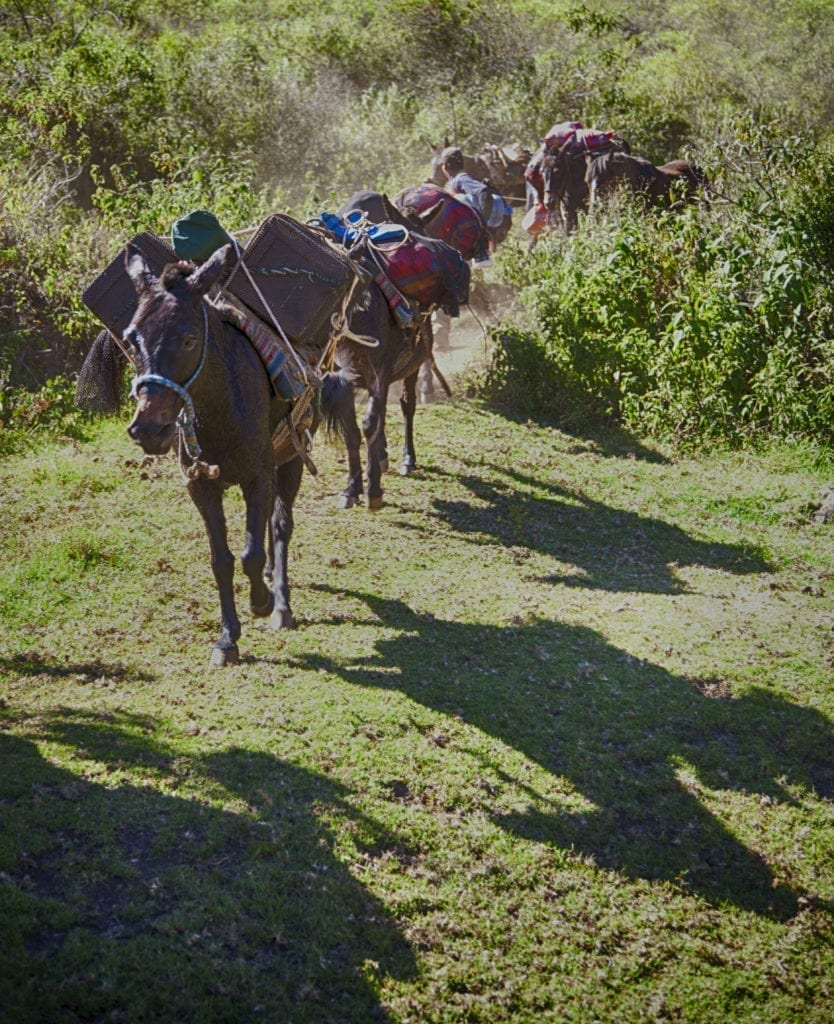 Mule team loaded with supplies